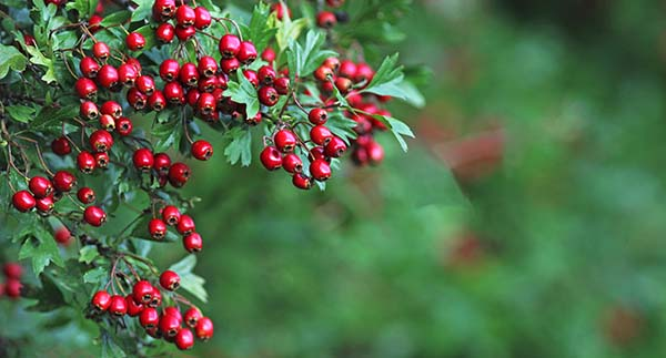 Hawthorn Berries on Tree