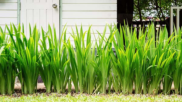 Pandanus Plants Growing
