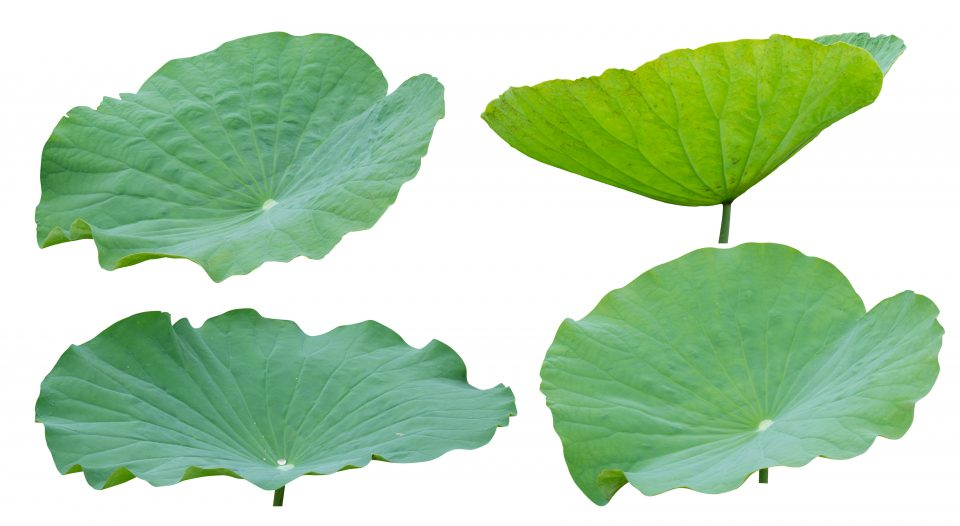 Lotus leaf isolated on white background, Clipping path